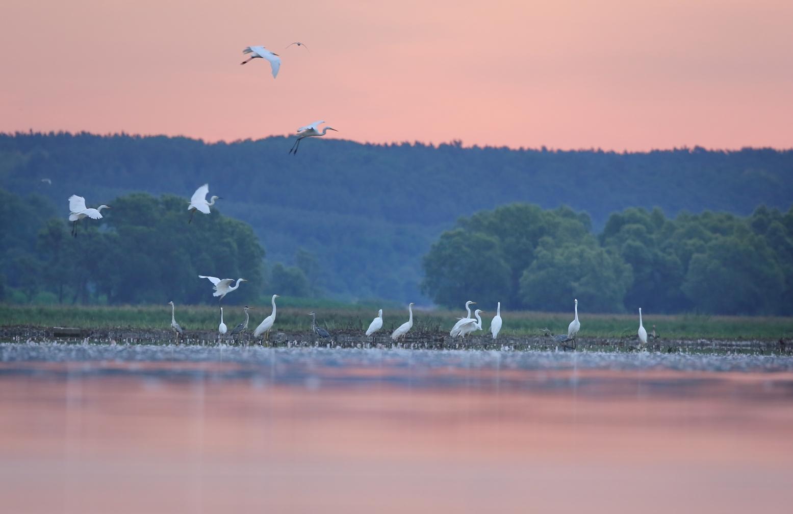 Świt nad łowiskiem czapli białych, fot Cezary Kipigroch