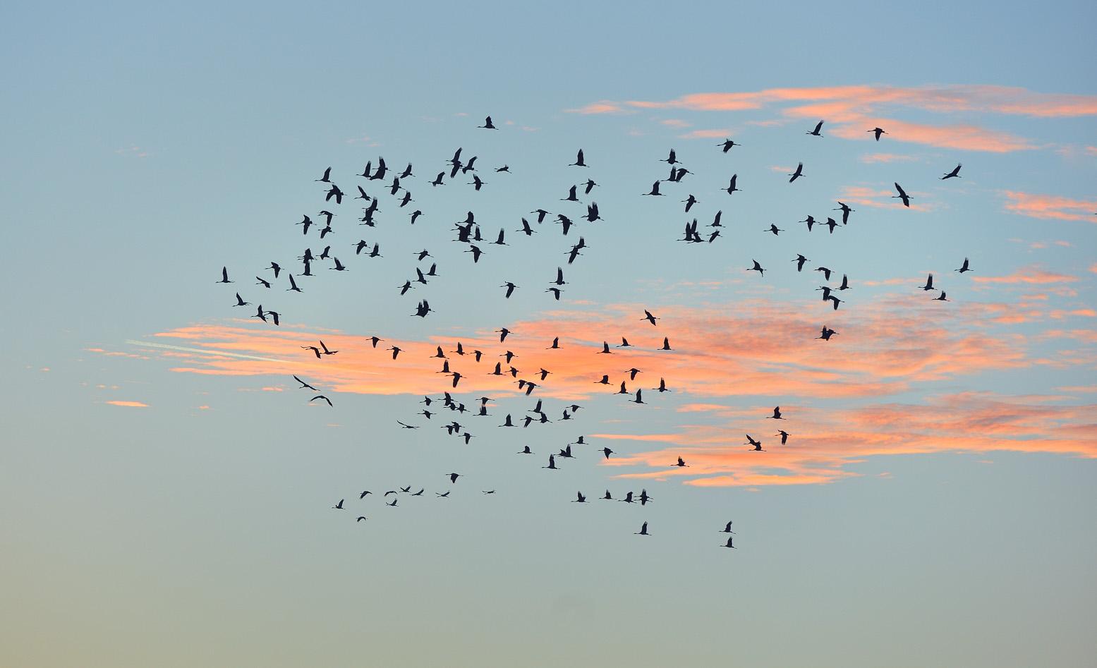 Jesienna migracja żurawi. fot. Piotr Chara