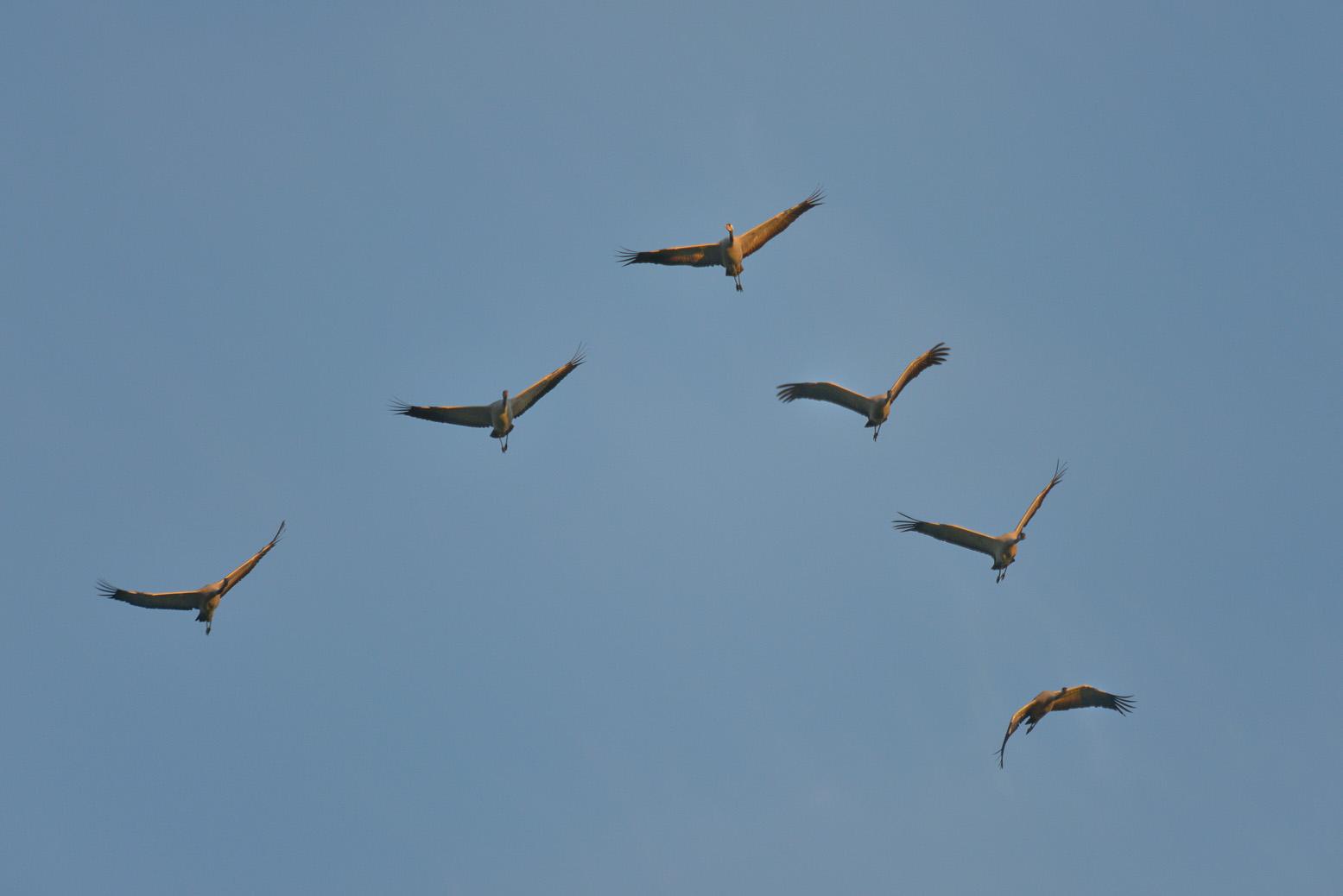 Migracja żurawi. Szymon Zachara